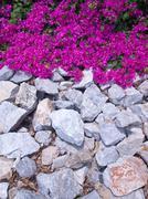 Bougainvillea flower - stock photo