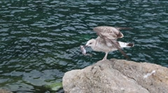 Seagull on Rock Catches a Fish Stock Footage