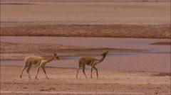 Peru llamas drinking from watercourse - stock footage