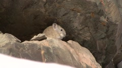 Pika sunbathing in Ladakh in India 1 Stock Footage