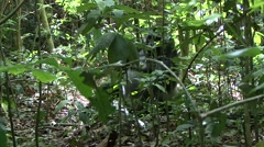 Western Lowland Gorilla feeding in the Central African rainforests behind bus - stock footage