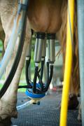 Automatic milking cow - stock photo