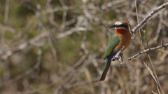 A White-fronted bee-eater sitting on a branch and then flying away Stock Footage