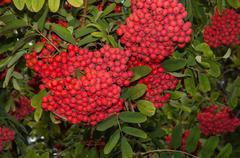 Autumn fruits of Rowan Stock Photos