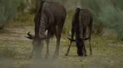 Blue Wildebeest - mother and calf grazing. Africa safari 4K uhd ultrahd animal - stock footage