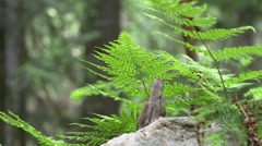 Fern plants in forest at Glacier National park Stock Footage