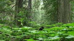 Plants revelstoke national park Stock Footage