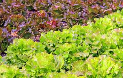 Stock Photo of Green Salad and a chicory heads in vegetable garden