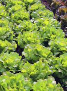Green Salad and a chicory heads in vegetable garden Stock Photos