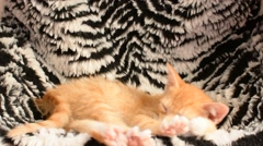 Cute red kitten sleeping on zebra background - stock footage