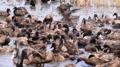 Duck Chase Fields in rice field in Thailand, Duck eggs in Thailand. Stock Footage
