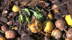 Wasps and butterfly eating pears in compost heap Stock Footage