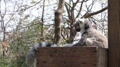 Young lemur jumping Stock Footage