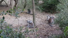 Various lemurs in a zoo Stock Footage