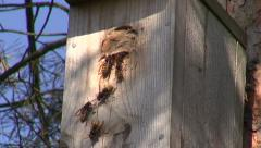 Wasps living in bird starling nesting box Stock Footage