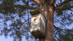 Common wasp nest in bird nesting box in pine tree Stock Footage