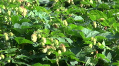 Green hops Humulus lupulus  waving in  wind Stock Footage