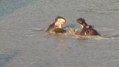 Two hippopotamuses playing together Stock Footage