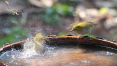 Birds (oriental white eye) playing water in a small pool Stock Footage