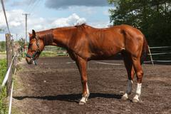 Brown horse on paddock - stock photo