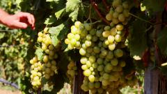 Farmer checking grapes in a vineyard before harvest - stock footage