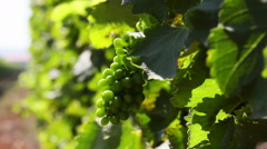 Unripe wine grapes growing in a vineyard - stock footage