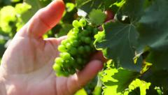 Farmer checking unripe wine grapes in a vineyard - stock footage