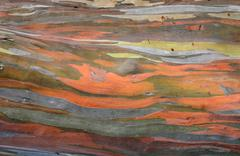 Extraordinary colored bark of Eucalyptus deglupta Stock Photos