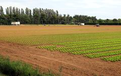 Stock Photo of Agriculture: field of green lettuce in summer