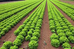 Agriculture: field of green lettuce in summer Stock Photos