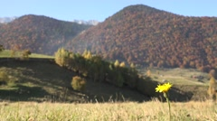 4K Yellow wild flower focus autumnal forest tree mountain resort tranquil scene  Stock Footage