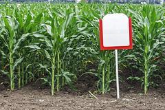 Fertile maize Stock Photos