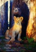 Little lion cub in nature and wooden log - stock photo