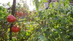 Red growing tomato on garden at sunset Stock Footage