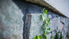 Hedera leaves growing next to a wall Stock Footage