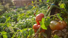 Big tomato ripening fast on direct sunlight close up Stock Footage