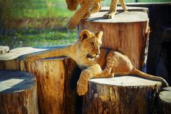 two lion cubs cuddling in nature and wooden log - stock photo