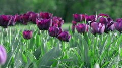 Violet tulip flowers Stock Footage