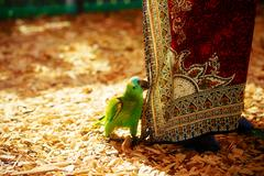 Green parrot and red female ornamental cloth - stock photo