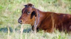 Bull on a summer pasture - stock footage