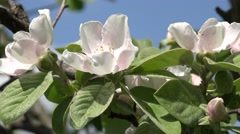 4K Amazing closeup blossom flower pear tree orchard spring symbol ornamental day Stock Footage