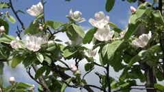 4K Beautiful spring flower tree springtime apple arbor blossom botanical flora  Stock Footage