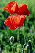 Flowers of poppies-1 - stock photo