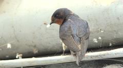 4K Swallow small bird search food take off wild habitat hunt birdwatching fauna  Stock Footage