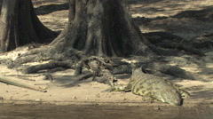 Large Crocidile Resting on the Shore in the Chobe National Park BOTSWANA Stock Footage