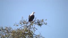Eagle Resting on a Tree in the Chobe National Park BOTSWANA Stock Footage