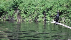 Cormorant bird waits on branch at the lake, medium frontal shot Stock Footage