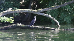 Cormorant bird waits on branch search for fish at the lake, long shot Stock Footage