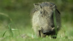 6K R3D - Warthog - looking at camera, then eating. Africa pumba pig 4K uhd Stock Footage