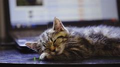 Baby cat sleeping in front of computer 4K Stock Footage